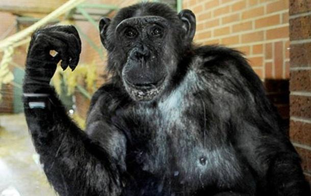 Защитники животных просят признать шимпанзе личностью