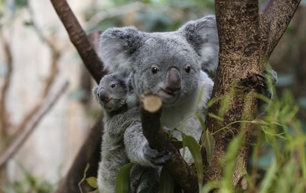 Почему коалы общаются басом?