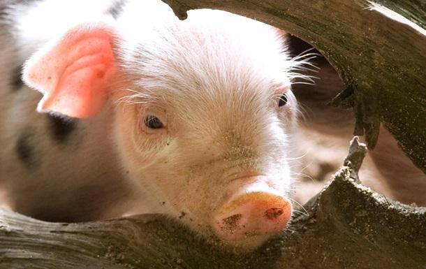 В Луганской области на границе с Россией выявлен вирус африканской чумы свиней