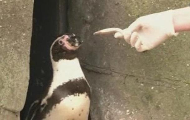 В британском зоопарке депрессивных пингвинов посадили на таблетки