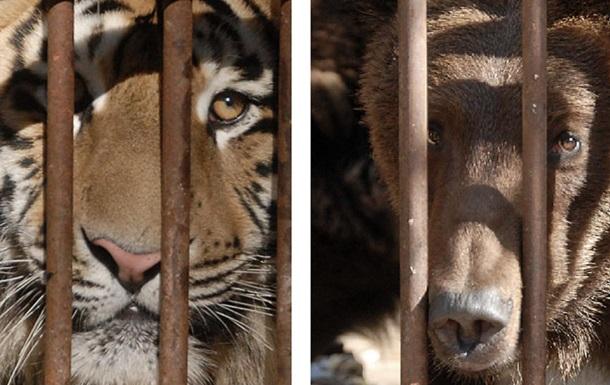 Звери Клименко . Фото тигров и медведей, которых приписывают экс-главе Миндоходов
