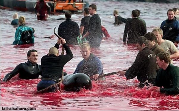 Бойня дельфинов на Фарерских островах ДАНИЯ