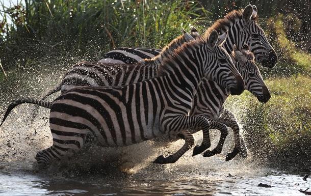 Ученые разгадали тайну черно-белого окраса зебры