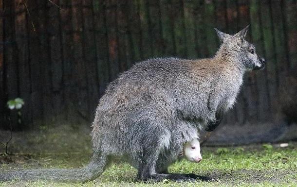 Ученые решили, что у кенгуру пять ног