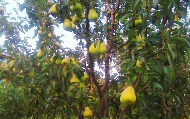 В Украине впервые за десять лет будет рекордный урожай груш