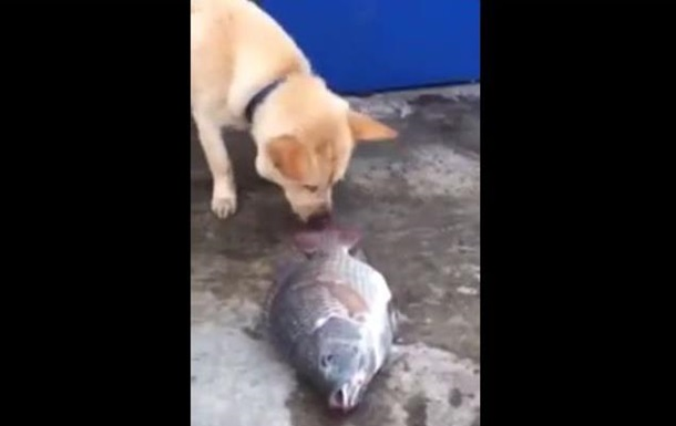 Собака попыталась спасти лежащую на земле рыбу