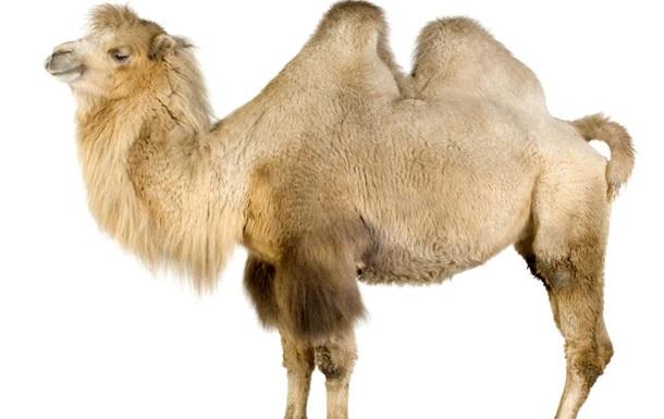Зачем верблюду горб?