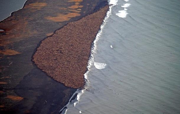 На берегу Аляски собрались 35 тысяч моржей