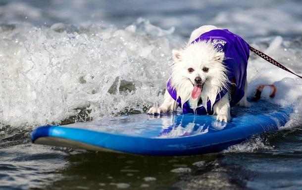 В Калифорнии соревнуются собаки-серферы