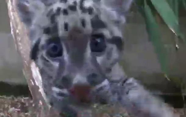 Редкого леопарда выходил сотрудник зоопарка - репортаж