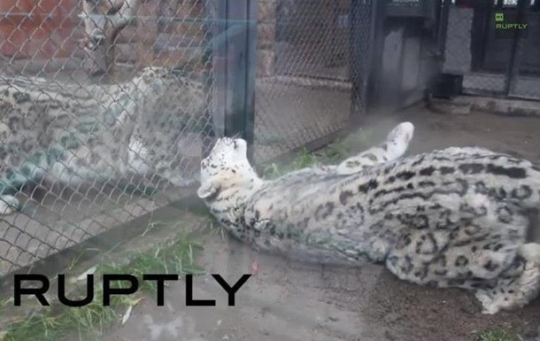 Любовь с первого взгляда . В российском зоопарке подружились снежные барсы