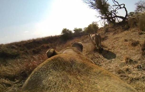 Львиная охота от первого лица: видео взорвало интернет