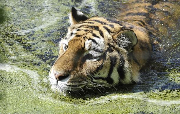 Тигр Устин сбежал из России в Китай вслед за путинским Кузей