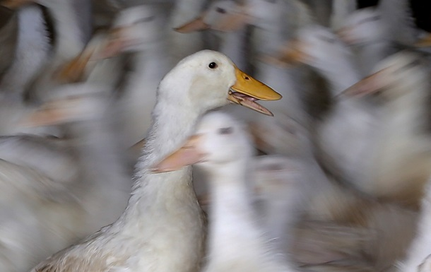 На утиной ферме в Англии подтвержден птичий грипп