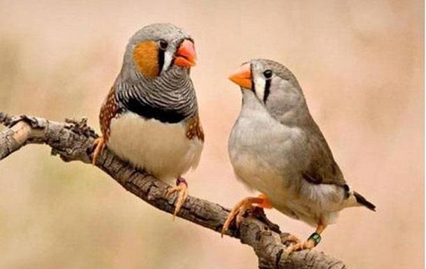 Ученые напоили птиц, чтобы послушать их пьяное пение