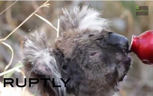 Обожженные коалы выходят к людям из-за пожаров в Австралии