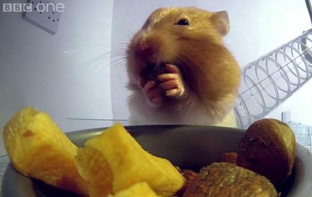 Ученые показали, сколько еды помещается в щеках у хомяка
