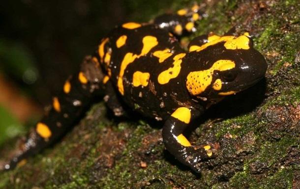 В КНР отстранили чиновников, съевших редкую саламандру