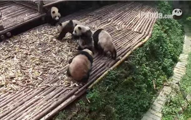 Панды устроили массовую драку в заповеднике