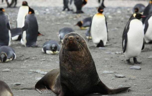 Почему морские котики насилуют пингвинов
