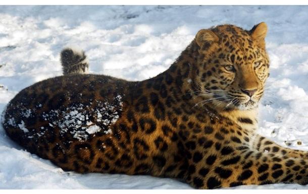 Брачные игры амурского леопарда впервые попали в кадр