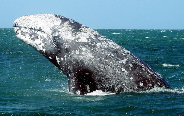 Серый кит убил туристку из Канады на побережье Мексики