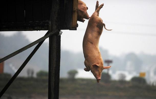 Ученый по-новому объяснил отказ иудеев и мусульман от свинины