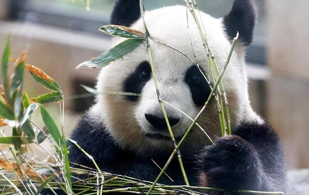 Единственные панды-тройняшки впервые попробовали бамбук