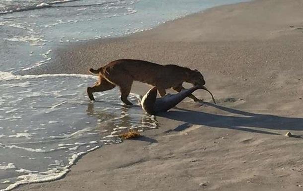 Рысь напала на акулу - уникальный снимок стал хитом интернета