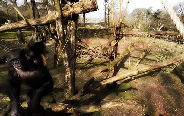 Королевские шимпанзе сбили шпионящий за ними беспилотник