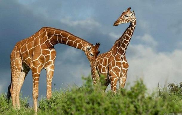 Зверские страсти:  50 оттенков серого  в мире животных
