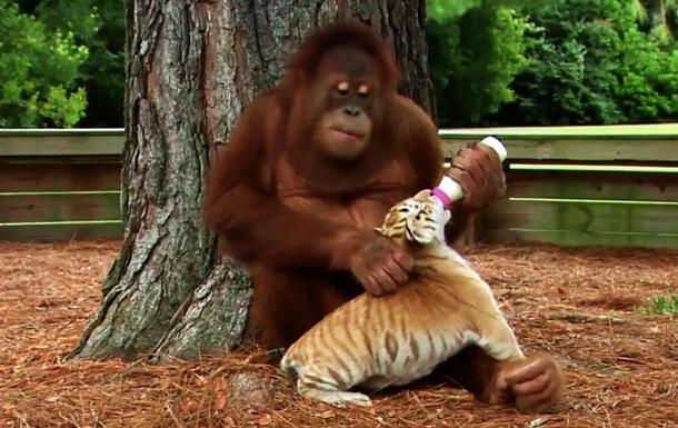Мистер няня: ролик о самом добром орангутане покорил любителей животных