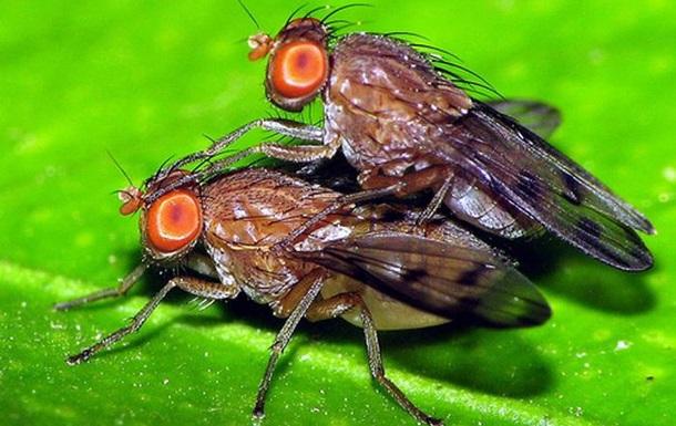 Биологи выяснили преимущества гомосексуального поведения мух