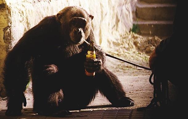 Антропологи обнаружили среди диких обезьян алкоголиков
