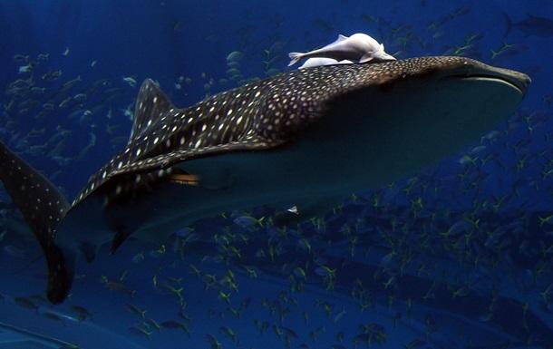 Серфинг на акуле: видео возмутило защитников природы