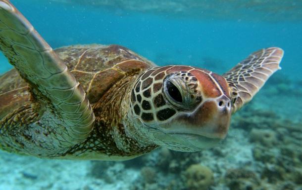 Черепаха провела видеоэкскурсию по Большому Барьерному рифу
