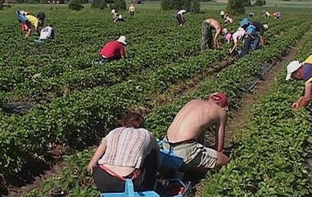 В Финляндию приедет 9 тысяч сборщиков ягод из Украины