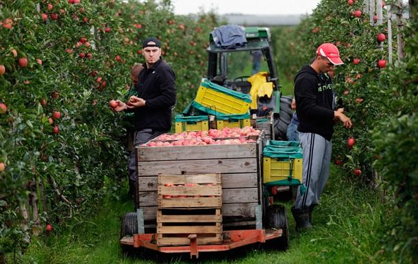 Экспорт польских яблок упал на 20% из-за российских санкций