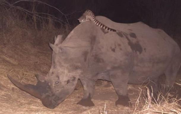 Зоологи сняли на видео борьбу носорога с оседлавшей его генеттой