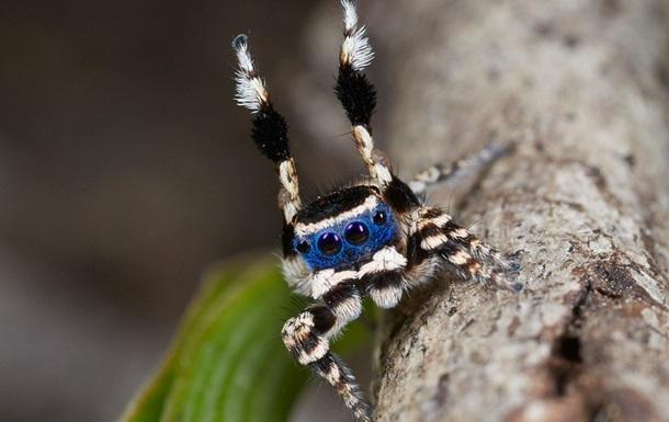 Соблазнителя в маске назвали самым милым пауком планеты