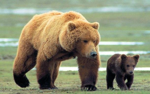 В Йеллоустонском парке медведица с медвежонком убили и съели человека
