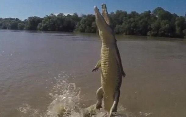 Крокодил поднялся на хвосте за куском мяса - видео