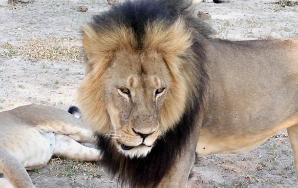 Арестован мужчина, помогавший в охоте на льва Сесила