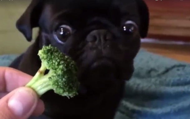Любящего брокколи мопса просмотрели более 34 миллионов раз