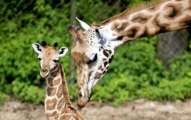 Ученые объяснили появление длинной шеи у жирафов