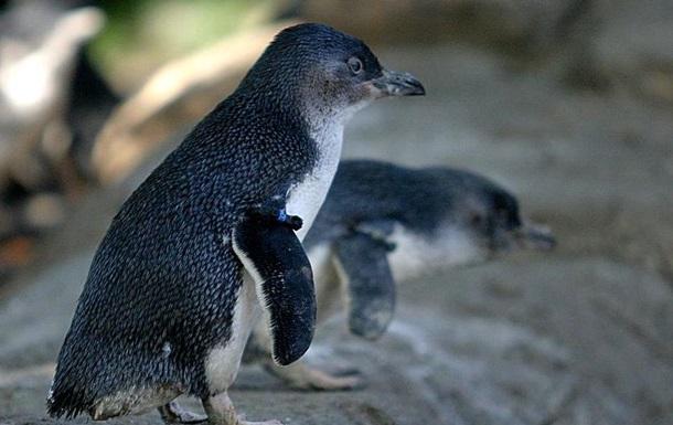 Дикая лиса задушила 14 пингвинов в австралийском зоопарке