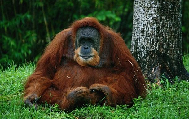 Таиланд вернул Индонезии украденных орангутангов