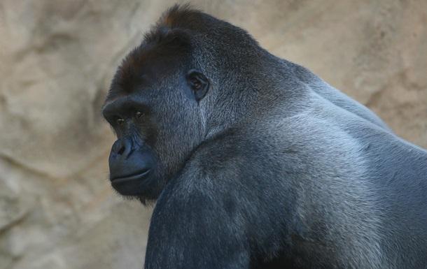 Видео о горилле