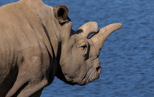 Один из четырех последних белых носорогов в мире умер в зоопарке США