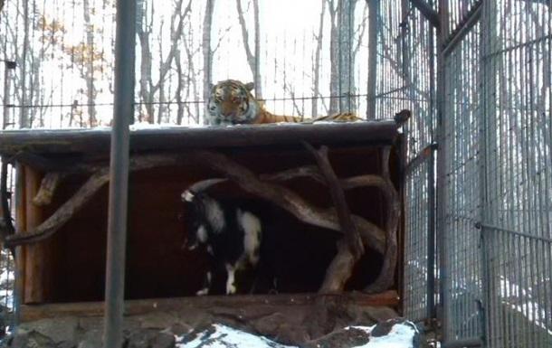 В России подружившегося с козлом тигра посадили на диету